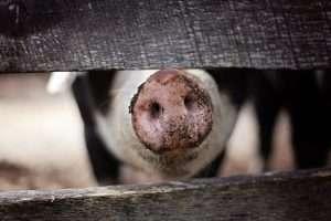 pig, snout, nose-1867180.jpg