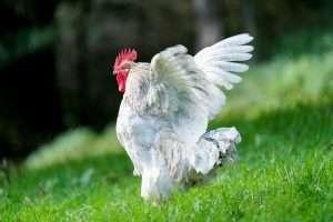 rooster, chicken, wings-5748524.jpg